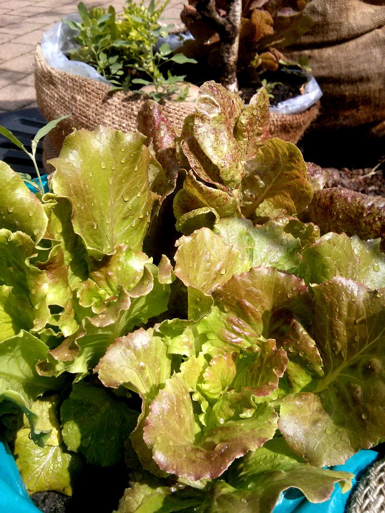 Salat im Stadtgarten Erlangen